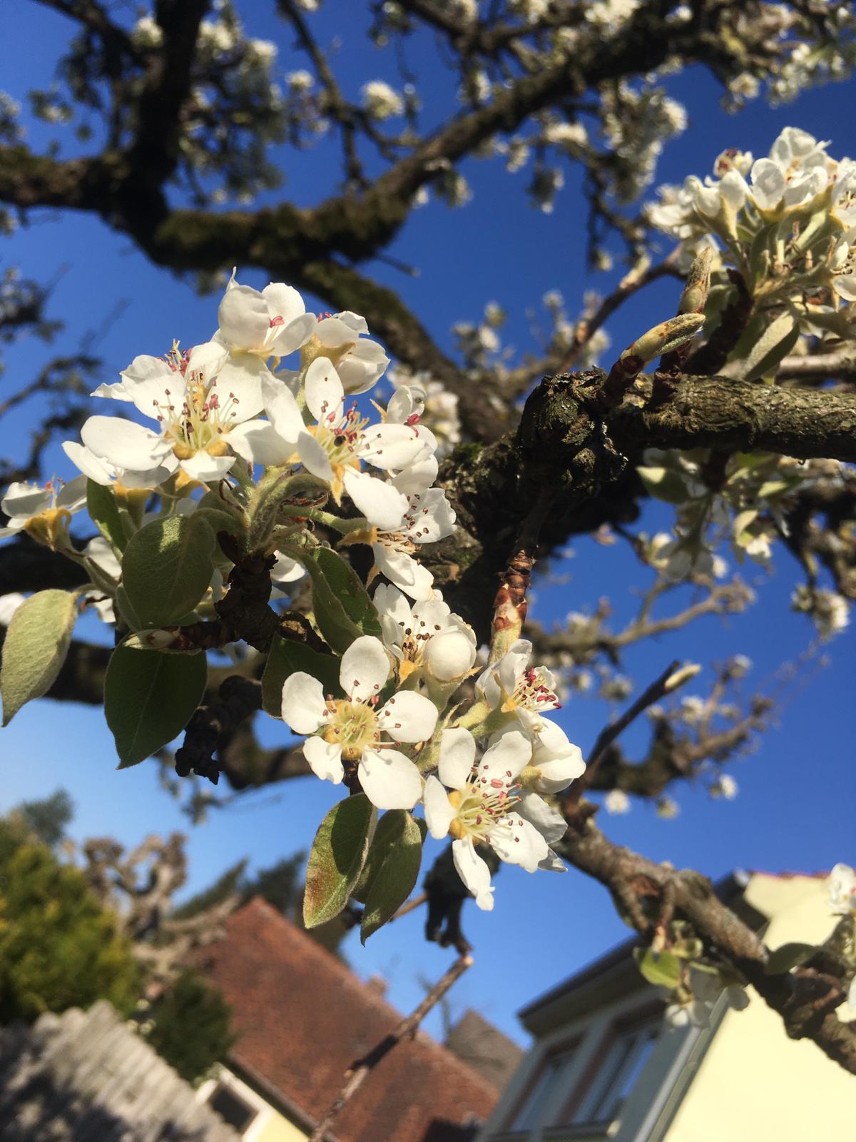 Blüten-am-Baum
