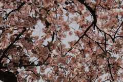 Blütenblätter-5