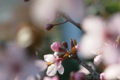 Rosa-Blüte