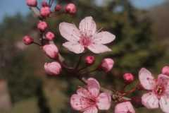 Rosa-Blüten