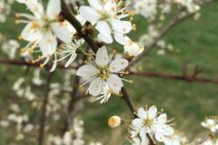 weiße-Blüten